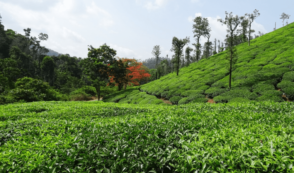 Tea Estate of Sholayar