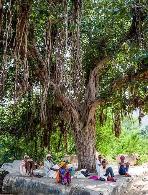Long Banyan Tree