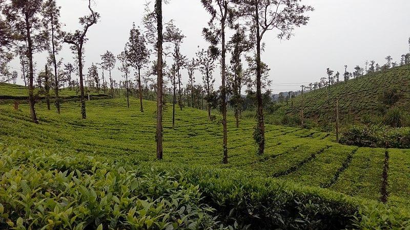 Coorg Tea Estates